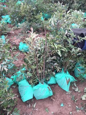 甘肃省兰州市榆中县紫斑牡丹 2cm以下 4cm以下 0.5~1米