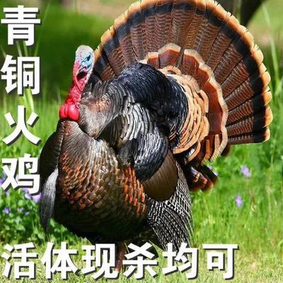 浙江省嘉兴市南湖区青铜火鸡 10-15斤