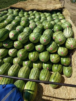 内蒙古自治区鄂尔多斯市鄂托克前旗金城5号西瓜 有籽 1茬 9成熟 8斤打底