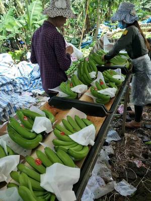 云南省文山壮族苗族自治州马关县河口香蕉 七成熟 60 - 70斤