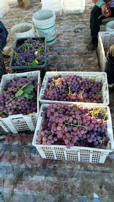 新疆维吾尔自治区昌吉回族自治州昌吉市红提 10%以下 1次果 2斤以上