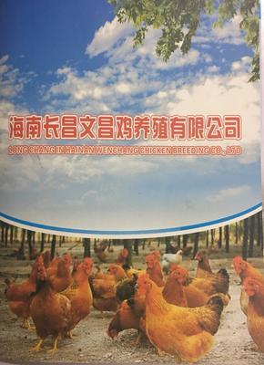 广东省深圳市龙岗区海南文昌鸡 统货 2-3斤