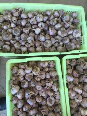 甘肃省兰州市西固区民乐紫皮大蒜 6.0cm 多瓣蒜