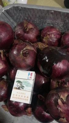 吉林省白城市洮南市紫皮洋葱 6~8cm 紫皮 4两以上