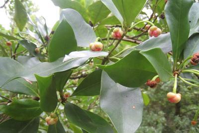 这是一张关于八角树的产品图片