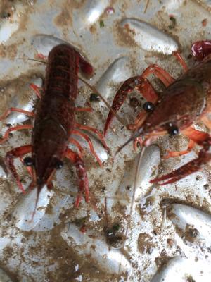 这是一张关于洪湖小龙虾  湖虾 3-5钱的产品图片