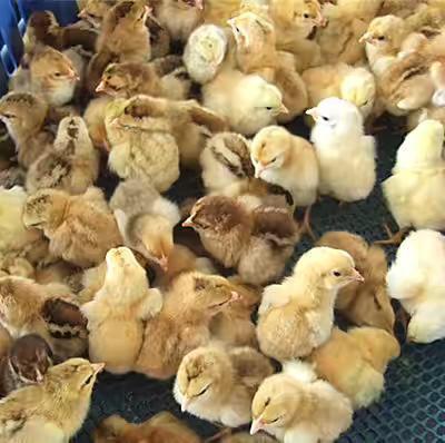 这是一张关于文昌鸡苗的产品图片