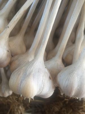 广西壮族自治区玉林市玉州区仁东大蒜 混级统货 多瓣蒜