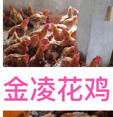 这是一张关于快大麻鸡的产品图片