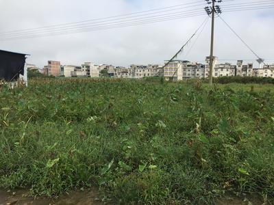 广西壮族自治区崇左市宁明县槟榔芋 5cm以上