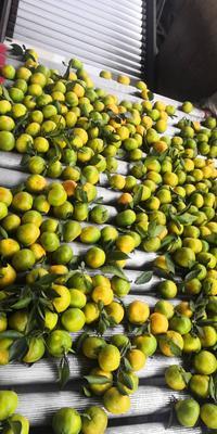 这是一张关于宜昌蜜桔 6 - 6.5cm 1.5 - 2两的产品图片