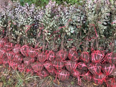 重庆北碚区黑珍珠红继木