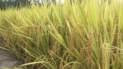 这是一张关于宜香优2115稻谷 晚稻的产品图片