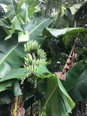 广东省韶关市乐昌市土芭蕉 八成熟 40斤以下