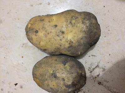 这是一张关于尤金885土豆 2两以上的产品图片