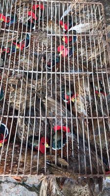 广东省广州市白云区野山鸡 2-3斤