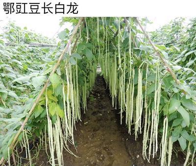 四川省成都市金牛区豆角种子 ≥97%