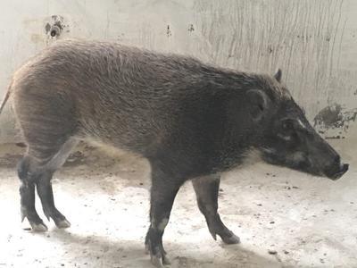 湖北省宜昌市宜都市改良野猪 140斤以上 统货