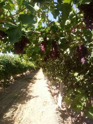 新疆维吾尔自治区昌吉回族自治州呼图壁县树葡萄