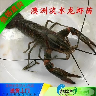 广东省广州市花都区澳洲龙虾苗