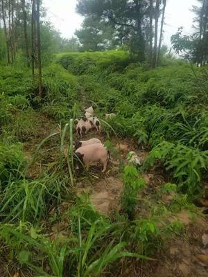广西壮族自治区防城港市防城区巴马香猪 40-60斤