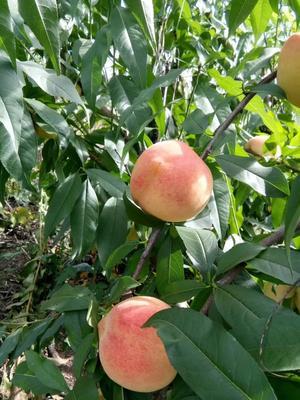 这是一张关于秋白桃 55mm以上 2 - 3两的产品图片