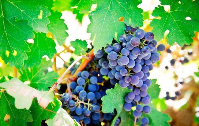 赤霞珠葡萄 10%以上 1次果 0.4-0.6斤