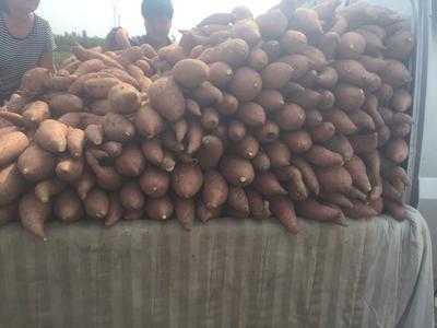 河北省沧州市河间市龙薯九号 红皮 混装通货