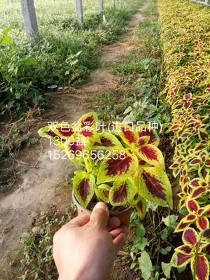这是一张关于彩叶的产品图片