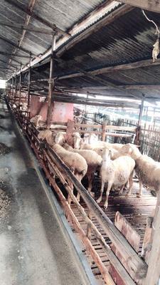 浙江省杭州市江干区湖羊 80-110斤