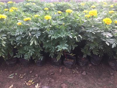 这是一张关于孔雀草种子的产品图片