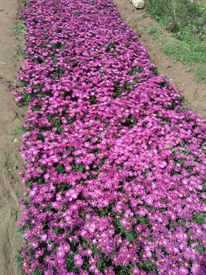 山东省潍坊市青州市荷兰菊种子