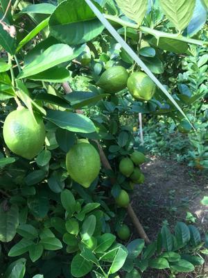 广西壮族自治区梧州市藤县香水柠檬 2.7 - 3.2两