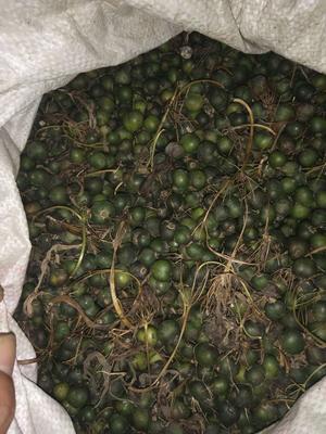 这是一张关于黄精种子的产品图片