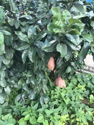 这是一张关于三红蜜柚 2.5斤以上 的产品图片