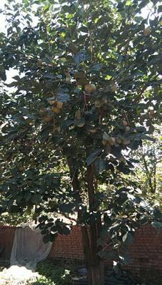 这是一张关于磨盘柿子 4 - 5两以上的产品图片