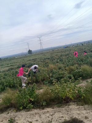 宁夏回族自治区固原市原州区红树莓 冻果