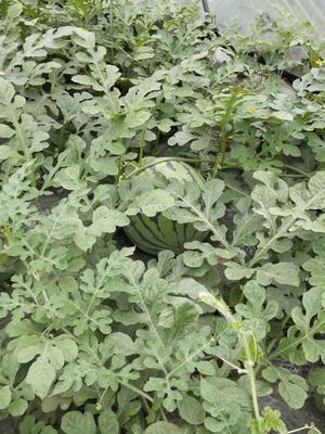 浙江省金华市东阳市美都西瓜 有籽 1茬 7成熟 8斤打底