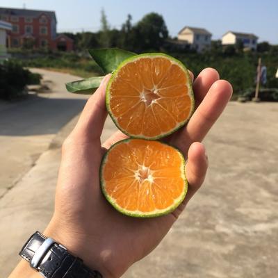 湖北省宜昌市宜都市宜昌蜜桔 6.5 - 7cm 2 - 3两