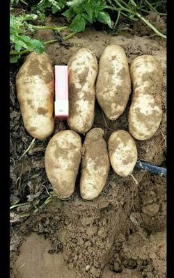 这是一张关于夏坡蒂土豆 3两以上的产品图片