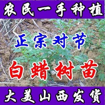 山西省运城市绛县对节白蜡 1.5~2米