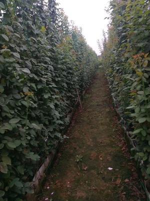 这是一张关于藤蔓月季的产品图片