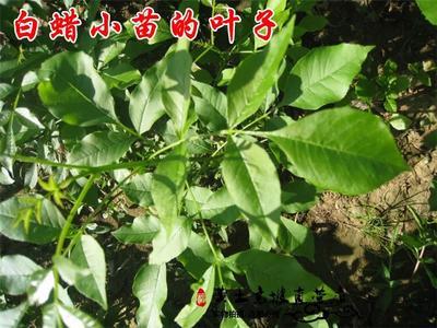 山西省运城市绛县对节白蜡 1~1.5米