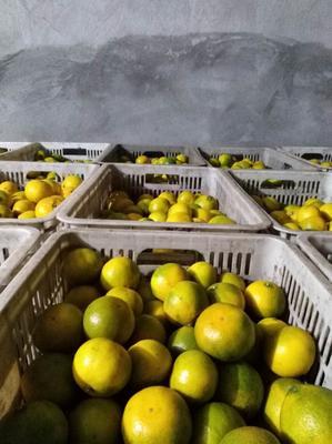 这是一张关于宜昌蜜桔 5.5 - 6cm 1.5 - 2两的产品图片
