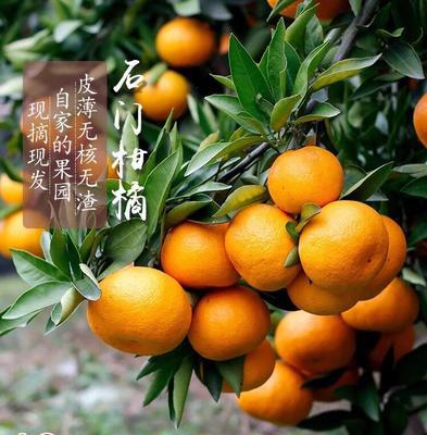 这是一张关于石门蜜橘 5.5 - 6cm 1.5 - 2两的产品图片
