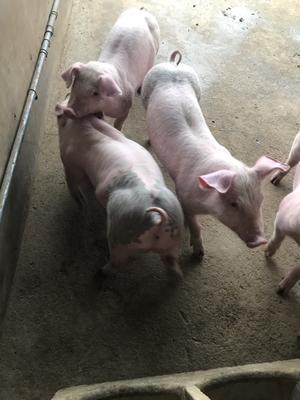 这是一张关于土猪肉 生肉的产品图片