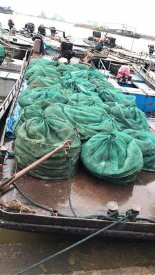 这是一张关于洪泽湖大闸蟹 2.5-3.0两 统货的产品图片