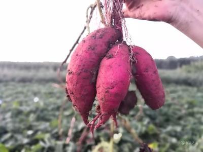 这是一张关于秦薯五号 红皮 6两~1斤的产品图片