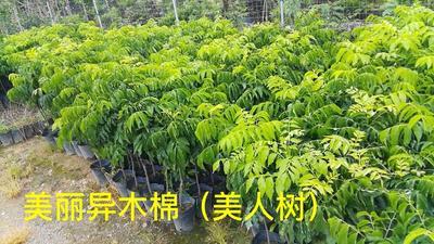 四川省乐山市沙湾区红花风铃木
