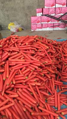 陕西省渭南市大荔县秤杆红萝卜 15cm以上 3两以上 3~4cm